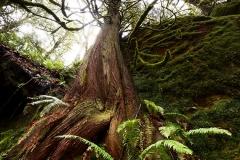 Cedar Growth